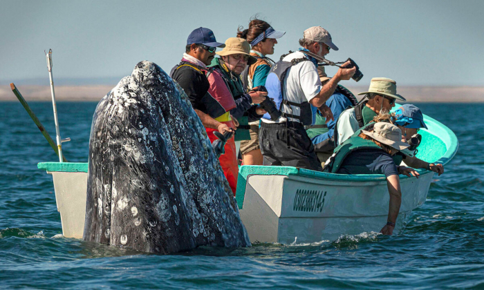 Туристы приготовились фотографировать кита, но он решил понаблюдать за ними сзади