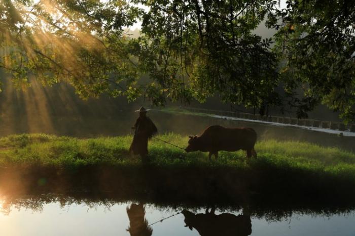 Телёнок, корова, долг, жизнь