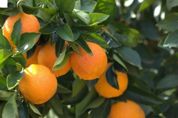 ripe oranges tree branch 768x512 1 e1623582303168 - Насколько хватает сыновнего терпения, чтобы ухаживать за престарелыми родителями?