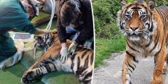 Хирург спас зрение пожилой тигрице