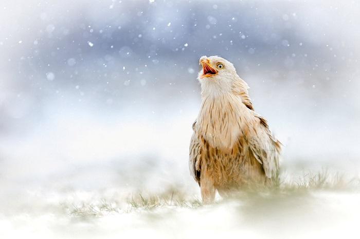 Photos: прекрасный редкий королевский коршун с лейкизмом был обнаружен, играющим в снегу