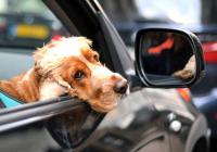 Как обезопасить вашего питомца в машине