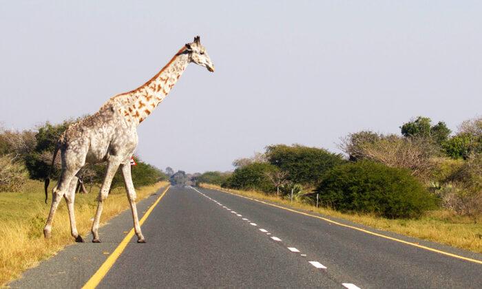 Редкие фото: один из последних в мире жирафов с лейкизмом