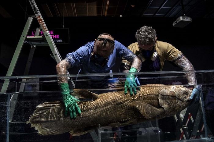 coelacanth 3 - Обнаружено «живое ископаемое» ― рыба латимерия