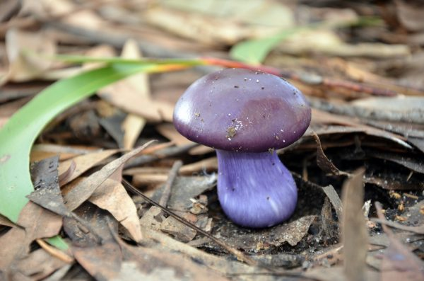 гриб, фиолетовый цвет