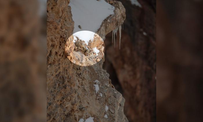 снежный барс, фото, горы
