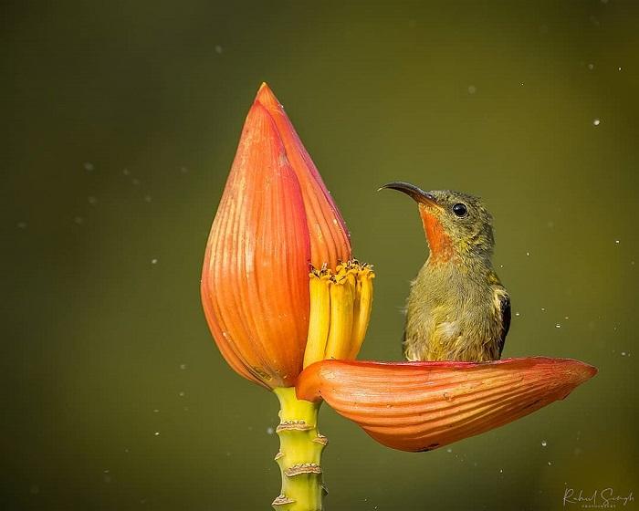 et sunbird 678 2 89034  - Маленькая птичка принимает утреннюю ванну