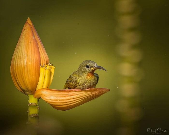 et sunbird 678 234  - Маленькая птичка принимает утреннюю ванну