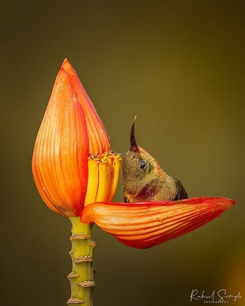 et sunbird 678 238 8  - Маленькая птичка принимает утреннюю ванну