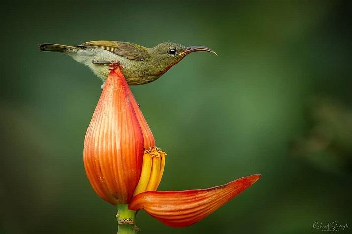 et sunbird 678 890 1 1 - Маленькая птичка принимает утреннюю ванну