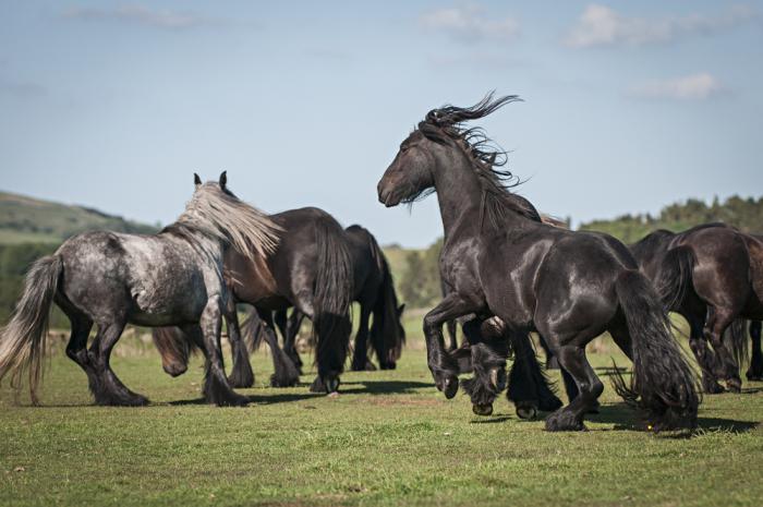 Шесть пород чёрных лошадей, таинственных и романтичных