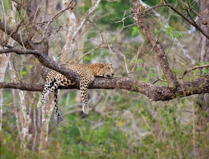 leopard spotted 3 98 43 scaled e1625146065578 - Фотограф сделал редкие снимки леопарда в Индии