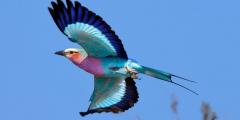 Великолепный африканец — птичка сиреневый валик