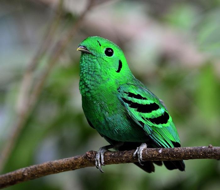 Орнитологи обнаружили в Сингапуре птицу, объявленную вымершей 70 лет назад