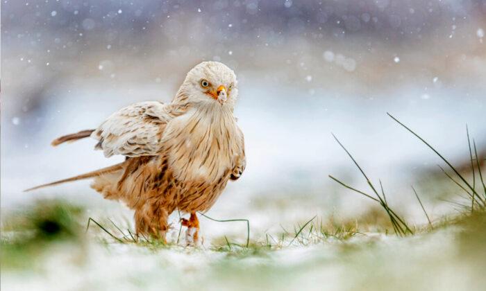 Редкие кадры: белый коршун радуется снегу