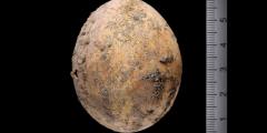 Археологи нашли целое куриное яйцо возрастом 1000 лет при раскопках в Израиле