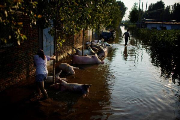 Сотни тысяч туш свиней заполнили Центральный Китай после наводнения