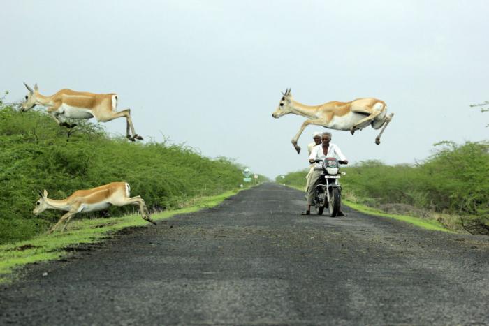 Фотограф запечатлел, как антилопы мчатся через дорогу