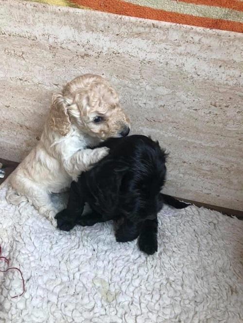 Собаки, брат и сестра, обнялись, встретившись на прогулке