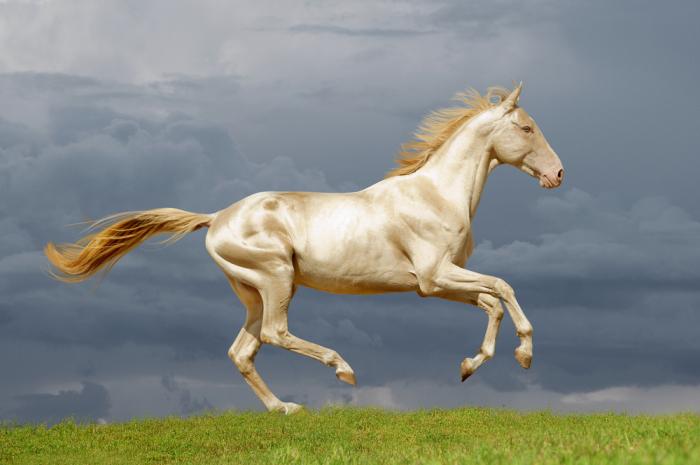 Золотые ахалтекинцы — девятое чудо света