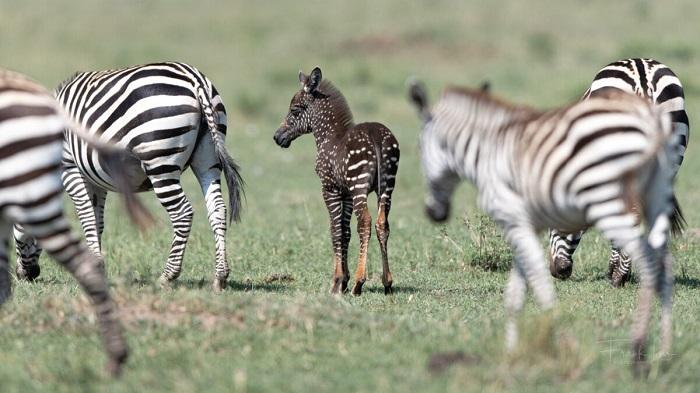 В Кении родился жеребёнок зебры тёмного окраса