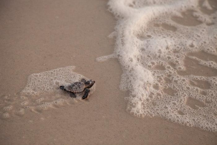 Морских черепах по всему миру стало больше благодаря пандемии