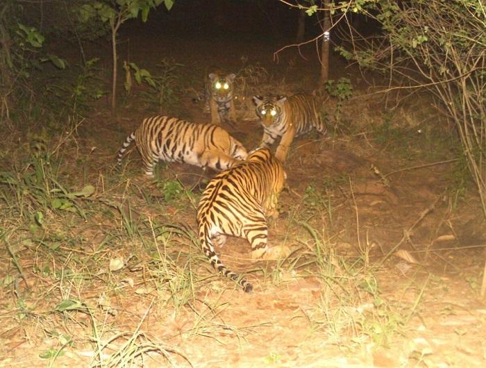 Тигр взял под опеку четырёх тигрят-сирот