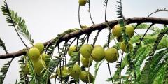 Целебное дерево Амла
