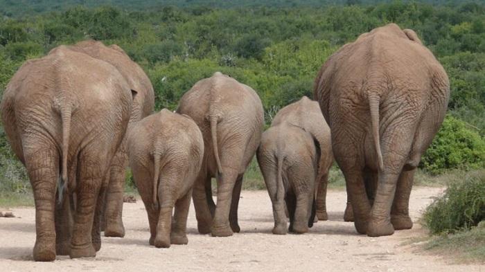 Китай: стадо слонов после долгого путешествия вернулось домой