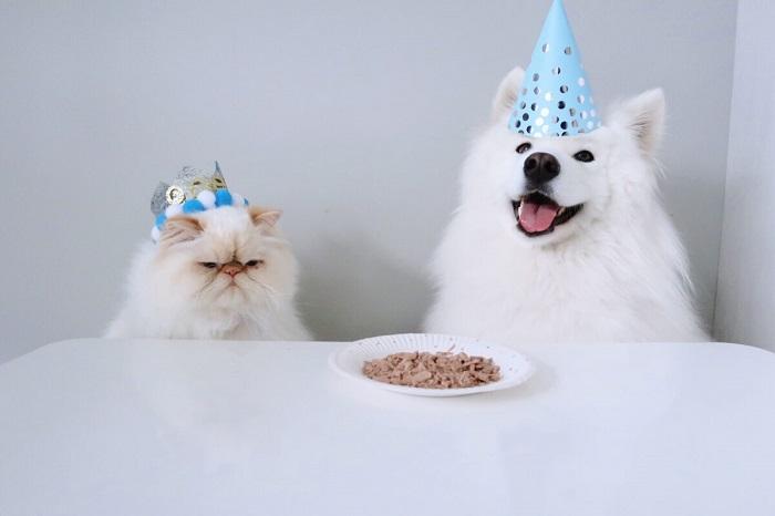 Весёлая дружба между «сварливым» котом и пушистой собакой