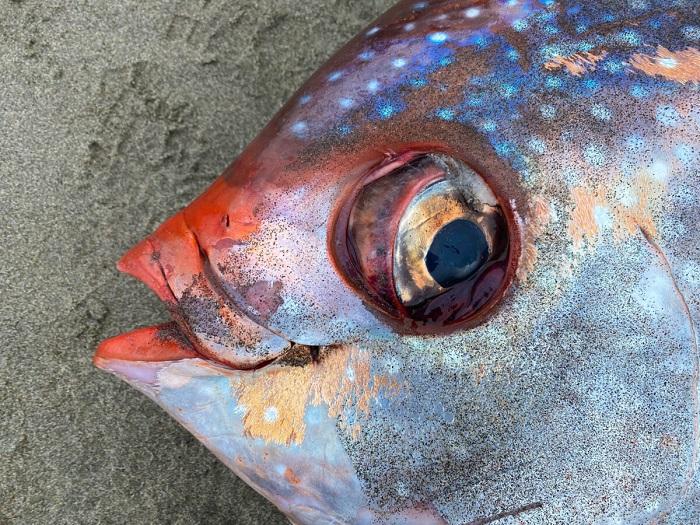 На пляже в Орегоне обнаружили огромную редкую рыбу опаха
