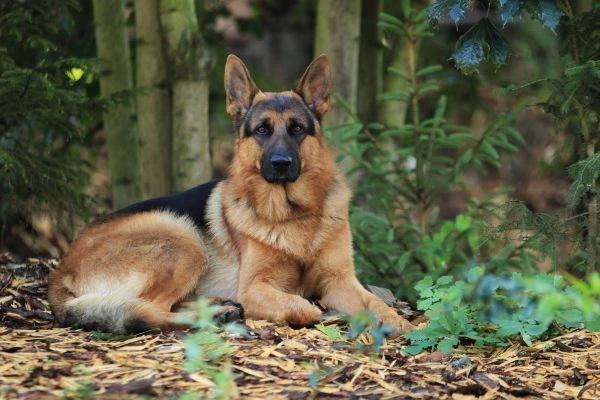 german shepard 600x400 1 - Являетесь ли вы личностью в глазах своей собаки?  Умейте распознать это