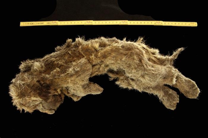 Сибирскому львёнку предположительно 28000 лет